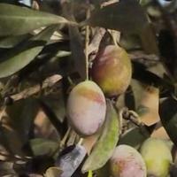 Oli ecològic del Mas de Pitoia
